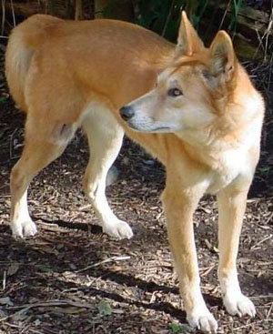 Dog breeds that look like dingos